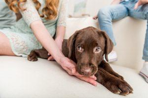 labradore puppy
