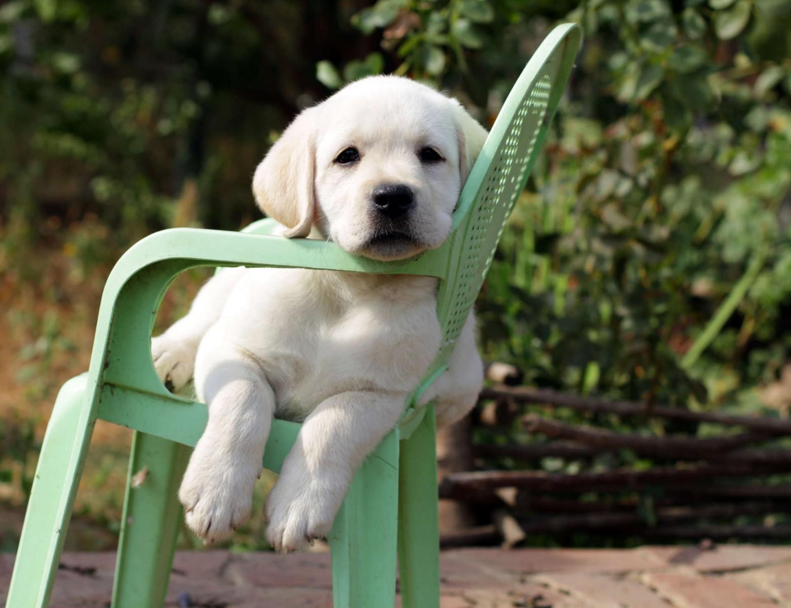 puppy in chair