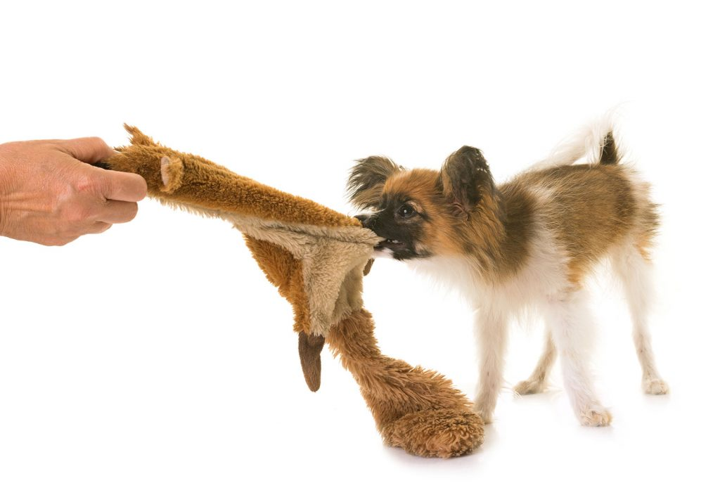 puppy snatching toy from owner