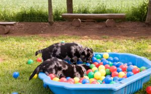 puppys playing in ball pit