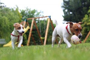 2-Jack-Russels-playing-together