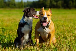 friends-dogs-staffordshire-terrier-and-border-AJDXG4U_tiny