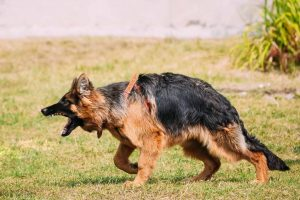 anger-aggressive-long-haired-german-shepherd