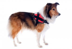 shetland-dog-and-harness