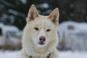 Husky White Dog