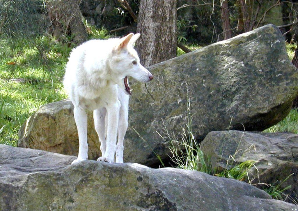 The Argentine Dingo