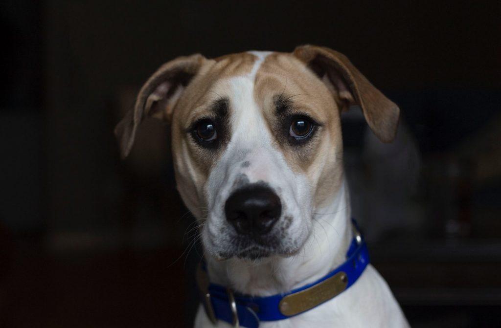 dog staring at owner