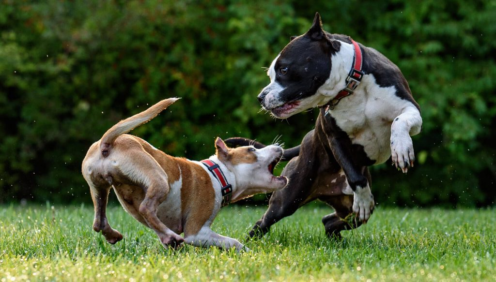 2 dogs fighting with each other