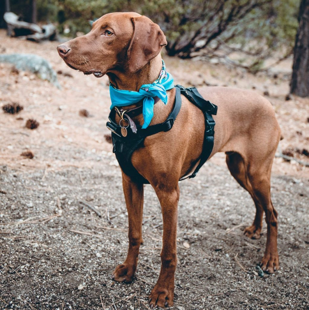 Dog with a Step-in Harness