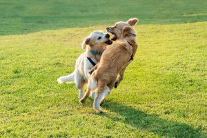 golden-retriever-dogs-fighting