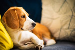 beagle-dog-tired-lzing-down-on-a-cozy-couch